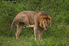 Very itchy Lion .Ndutu lake Tanzania.