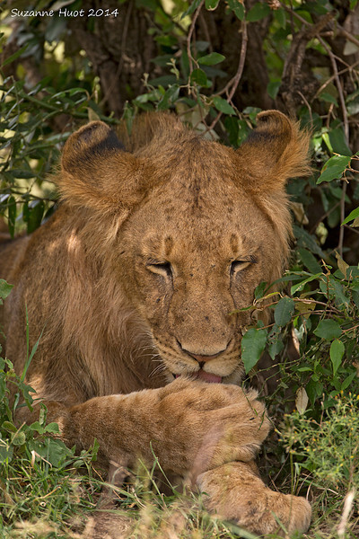 Sub-adult male Lion hiding in the shade from the noonday Sun.