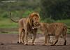 Lions on their honeymoon.. Ndutu ,  Tanzania.