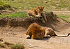 Father and son relaxing in the mid-day Sun.<br /> Serengetti Tanzania.