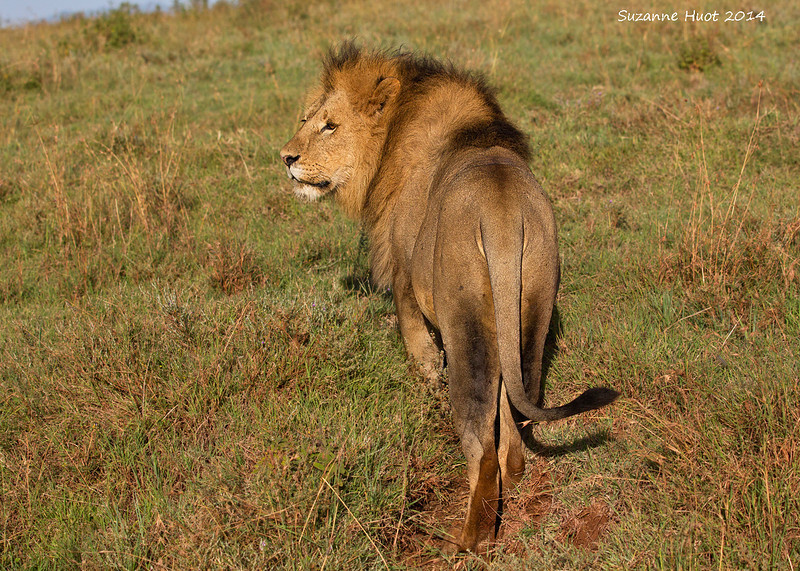 Lion on early morning stroll.  Ngorongoro Crater, Tanzania