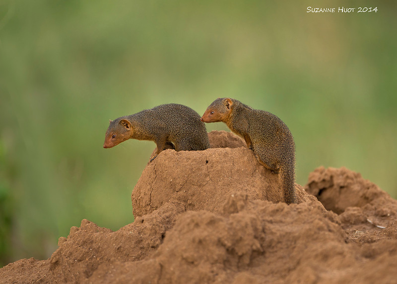 Dwarf Mongoose. The smallest African Mongoose. Just 11 inches long.. Can be found often burrowing into and living in termite mounds.<br /> diet consists of insects ,birds  eggs and snakes.