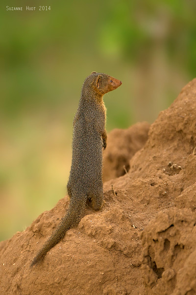 This little Dwarf mongoose is on the lookout for threats from  any direction.  The  emptyTermite mound not only makes a great home for the colony of Mongoose,but a great lookout post as well.   Tarangiri National Park  Tanzania.