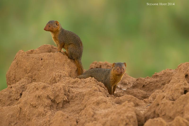 Dwarf Mongoose.  Tarangiri, Tanzania.