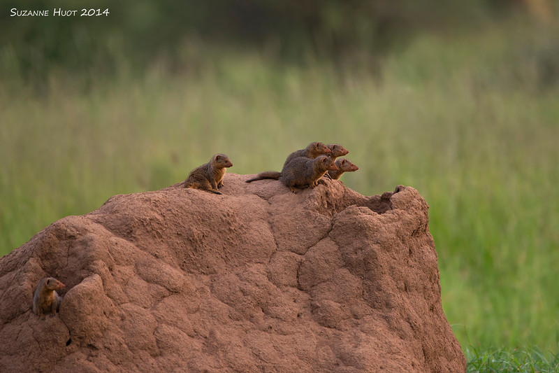 A family of Dwarf Mongoose  at home on their Termite mound home.