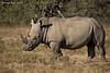 Endangered  White Rhinos feeding .Lake Nakuru ,Kenya