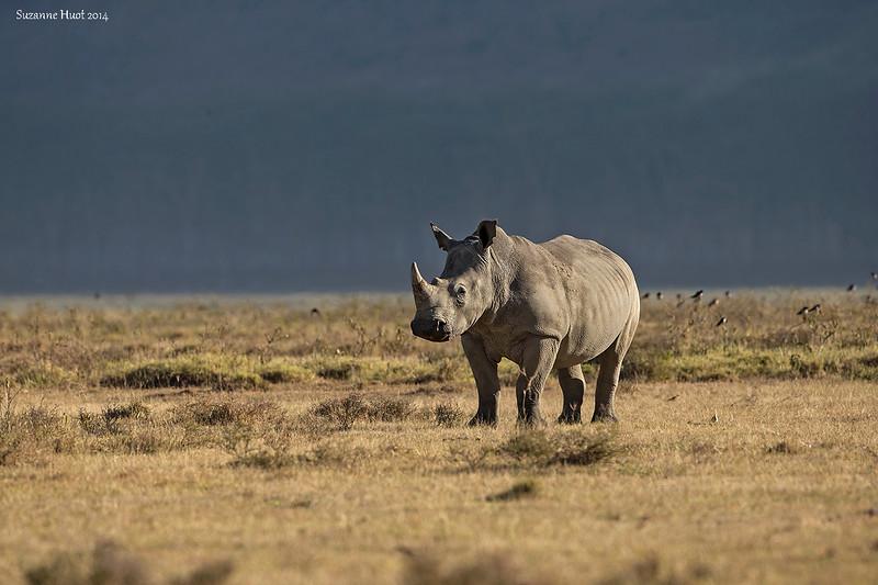 Lake Nakuru White Rhino.  Kenya.