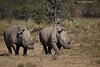 White Rhinoceros. Lake Nakuru  Kenya.