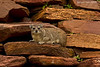 Rock Hyrax. .Although it looks like a rodent  the closest living relative to the Hyrax is actually the Elephant..