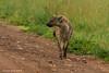 Spotted Hyena Masai Mara Kenya.