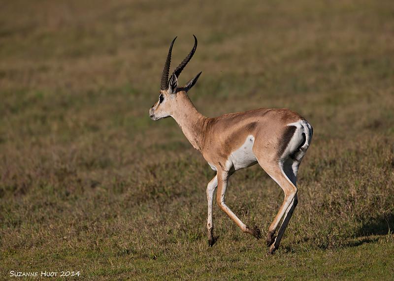 Grant's Gazelle.  Ngororongo Craterr