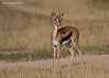 Young male Gazelle