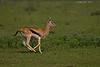Thomson's Gazelle following the herd.  Ndutu  Tanzania.