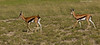 Pair of young male Thomsons Gazelle.