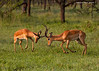 Impala Stags  practicing there fighting skills in preparation for the upcoming challenges of the the right to breed with the Does.