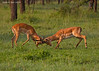 Impala Stags testing each other out.
