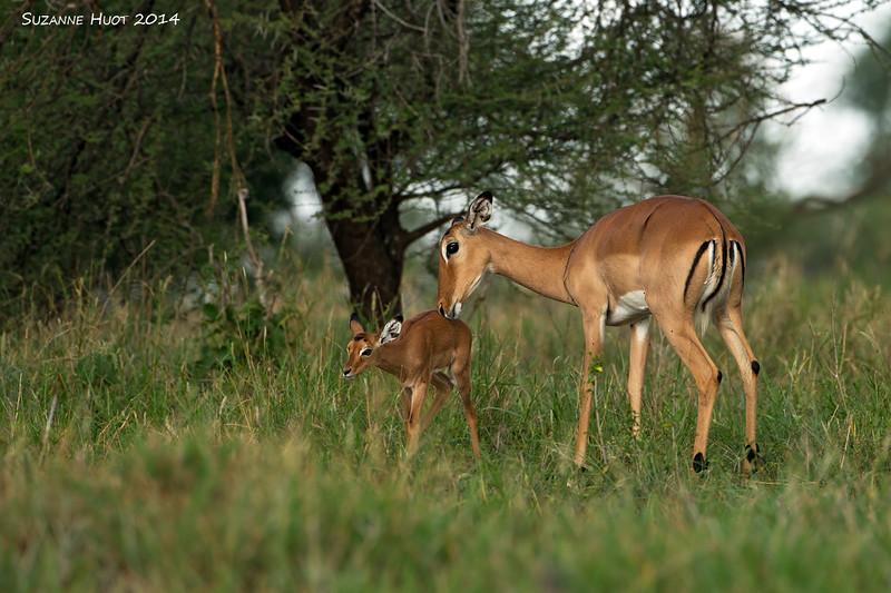 Impala Doe with fawn. Tarangiri, Tanzania.