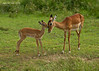 A tender moment between the impala  Doe and Fawn.