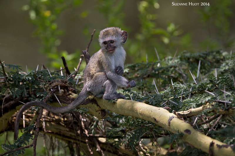 Black-faced monkey baby. Ngorongoro Crater, Tanzania.