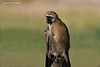 Vervet or Black-faced Monkey.  Tarangiri National Park   Tanzania.