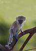 Vervet Monkey.independent youngster. Tarangiri National park Tanzania.