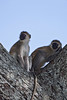 Pair of Black-faced Monkeys.  Tarangiri   Tanzania.