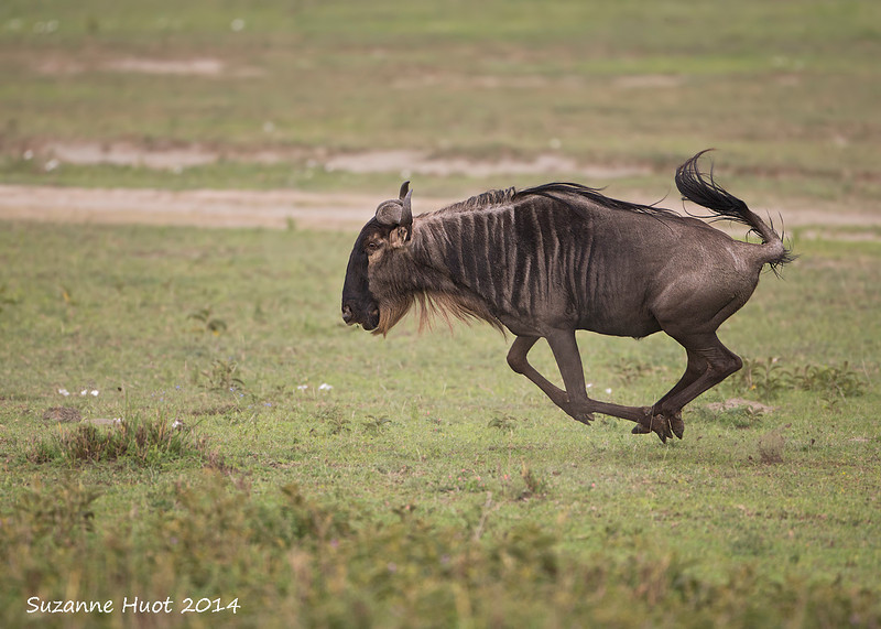 Wildebeest in a hurry ,keeping up with the herd ahead of him. For the Wildebeest it is always safety in numbers when predators are waiting for them in the grass.
