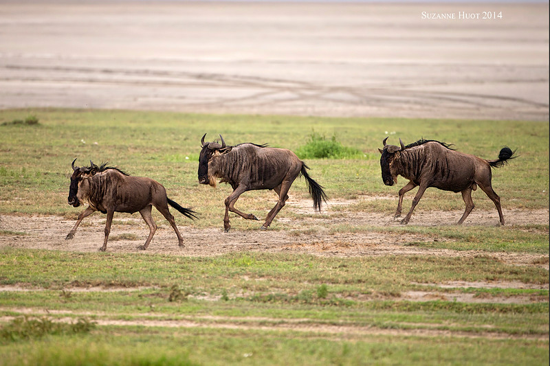 Part of a large herd of Wildebeestes running along the shores of Lake Ndutu after crossing from the other side.