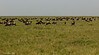 Wildebeest on the plains of Lake Ndutu,  Tanzania.