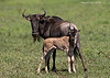 Newborn Wildebeest and Mother.
