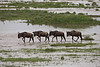 Wildebeests crossing the  flooded river at Ndutu, Tanzania.