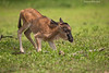First steps . Wildebeest calf.   Ndutu  Tanzania.