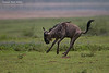 Wildebeest in a hurry. Ndutu  Tanzania.