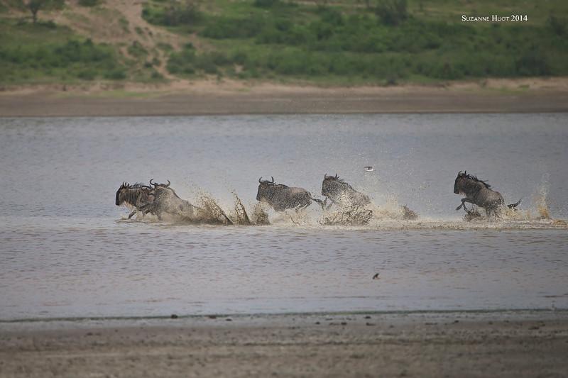 Wildebeest crossing Ndutu Lake.