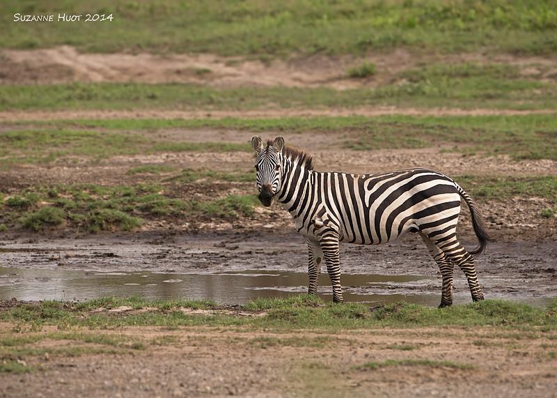 Burchell's Zebra at the water hole. , Ndutu. Tanzania.