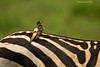 Yellow-billed Oxpecker resting on Zebra's back.