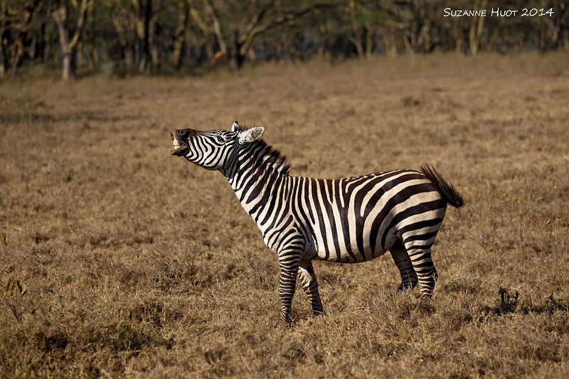 Male Zebra  showing the Flehmen response by curling back his lip ,exposing front teeth and holding his head in this position for a several  seconds .He is actually testing the air for pheromones often caused by females who may be coming into heat and may be ready to breed with him..