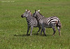 Two Zebras enjoying a mutual grooming session