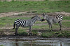 Zebras at the waterhole.  Ndutu , Tanzania