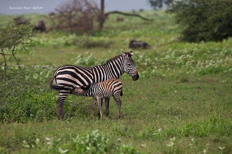 Masai Zebra nursing young foal. Ndutu  Game Reserve  Tanzania..