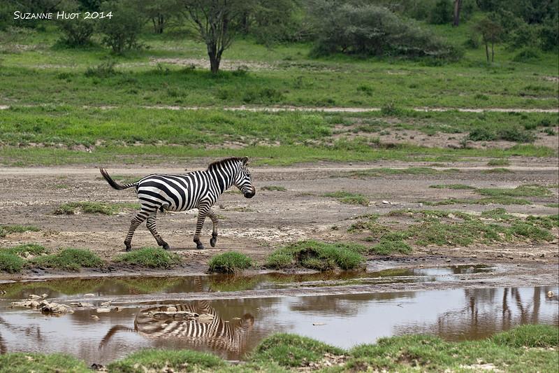 Zebra reflection.