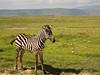 Zebra foal.  Ngorongoro Crater  Tanzania.