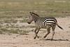 Zebra in a hurry.   Ndutu  Tanzania.
