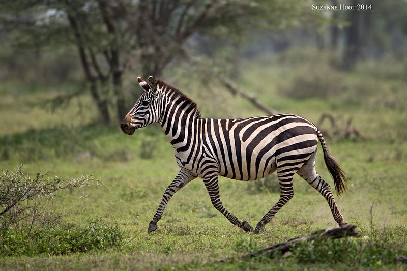 Zebra  Ndutu  Tanzania.