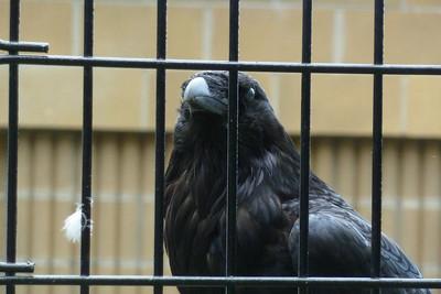 Raven, Alaska Zoo, Anchorage
