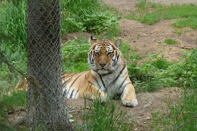 Bengal Tiger, Alaska Zoo, Anchorage