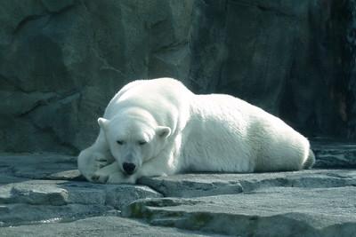 Polar Bear, Alaska Zoo, Anchorage