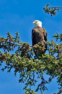 Eagle - Bald - Glacier Bay,  National Park - AK