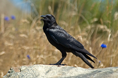 Crow - Northwestern - Damon Point State Park - Ocean Shores, WA