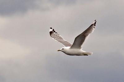 Gull - Mew - Fredrick's Sound, AK - 01